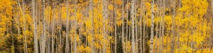 Panorama of Aspen trees in autumn